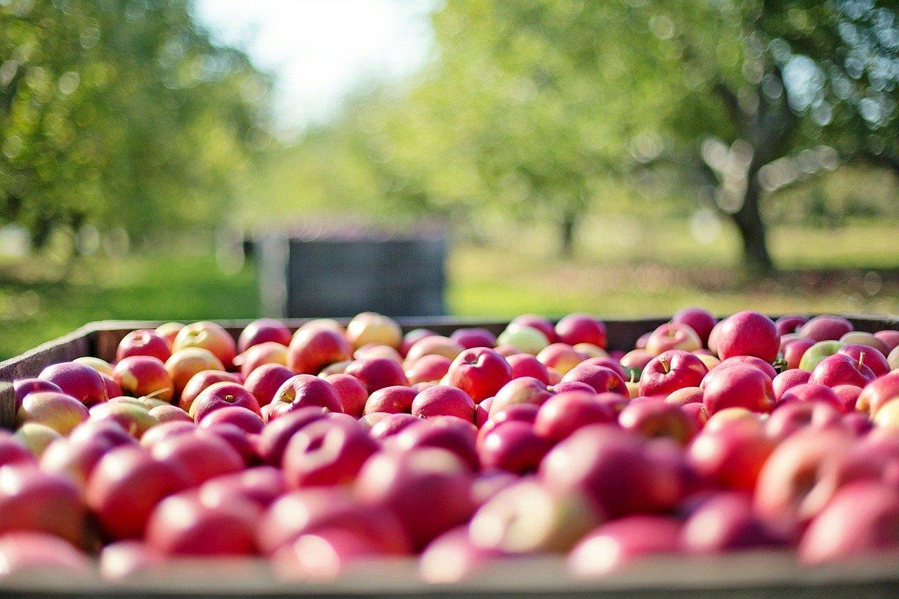 apples, fall, autumn